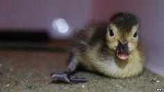 World's rarest ducklings Madagascan pochards hatch