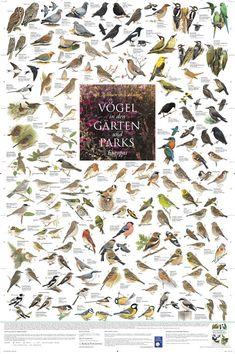 """Poster """"Vögel aus den Gärten und Parks"""