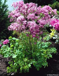Thalictrum 'Black Stockings'. I love the name. The foliage is beautiful, and the fluffy flowers are intriguing.  This is the palest pink-lilac in this scheme.
