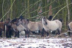 Konikpaarden @ Stille Kern, Zeewolde