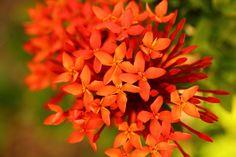Tropical Flowers, Colorful Flowers, Beautiful Flowers, Fiji Islands, Moana, Flower Art, Galleries, Floral Arrangements, Orchids