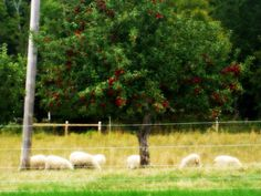 Our sheep in the paddock last summer.