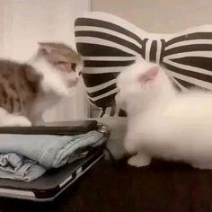 Little kittens #cutecats #kittens #adorablekittens Cute Baby Cats, Cute Little Animals, Cute Cats And Kittens, Cute Funny Animals, Kittens Cutest, Funny Cats, Ragdoll Kittens, Tabby Cats, Bengal Cats
