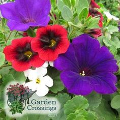 Stunning Annual Combination for full sun-  (Royal Punch) Pomegranate Punch Superbells, Royal Velvet Supertunia & Giant Snowstorm Bacopa. Not much of a red, white and blue flower lover until I saw this combo!
