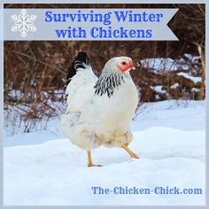 Surviving Winter with Chickens | The Chicken Chick® Chickens And Roosters, Pet Chickens, Winter Chickens, Urban Chickens, Keeping Chickens, Raising Chickens, Backyard Farming, Chickens Backyard, Gardens