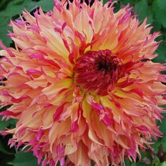 Cactus Dahlia 'Myrtle Folley', tubers) Great Cut Flowers,Blooms Summer to fall Exotic Flowers, Beautiful Flowers, Tall Flowers, Dahlia Flowers, Blossom Garden, Rose Cottage, Cactus Flower, Myrtle, Dream Garden