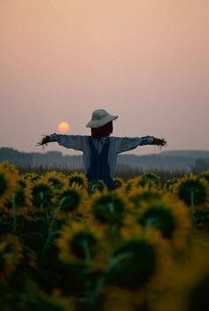 scarecrow in sunflower field
