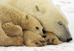 #Polar bears outside Churchill, #Manitoba in #Canada