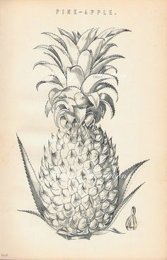 Antique Botanical Print PINEAPPLE Chart 1 by VintageInclination