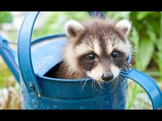 Baby Raccoon Videos - A Cute Baby Animals Compilation [BEST OF]… #funnypetvideos #funnyanimals