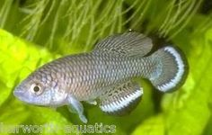 Nothobranchius Taeniopygus Itigi TAN 03/8 Eggs (Very Rare) Killifish