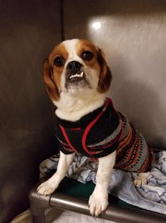 Darby is an adoptable cavalier king charles spaniel searching for a forever family near Bronx, NY. Use Petfinder to find adoptable pets in your area.