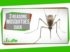 3 Reasons Mosquitoes Suck  Published on Jun 3, 2014 Hank gives you at least three reasons to like mosquitoes even less than you do already, and tells you how you can literally decrease world suck by fighting mosquito-borne disease.