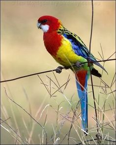 Eastern Rosella, native to south-eastern Australia including Tasmania. They are intelligent birds and can be kept as pets but do not tolerate 'petting' or 'cuddling' like most parrots do. They are likely to bite if handled this way. Pretty Birds, Beautiful Birds, Animals Beautiful, Kinds Of Birds, All Birds, Exotic Birds, Colorful Birds, Australian Parrots, Mundo Animal