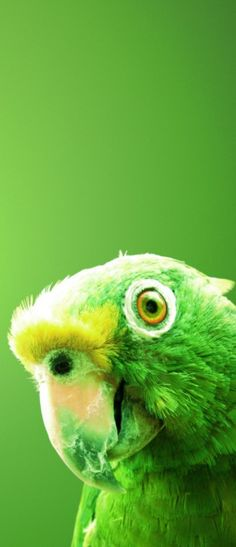 Green Parrot ...........click here to find out more http://googydog.com