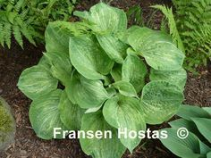 images of unusual or rare hosta - Google Search