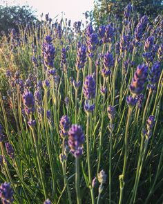 Field of lavenders Love Flowers, Nature Photography, Floral Design, Lavender, Happiness, Photo And Video, Plants, Instagram, Bonheur