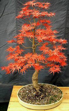 #Bonsai Spring Seigen Maple ~ #Acer #Palmatum http://www.roanokemyhomesweethome.com
