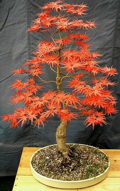 Bonsai Spring Seigen Maple (Acer Palmatum) by johnbaz77, via Flickr