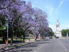 Jacarandas en mi barrio  Buenos Aires