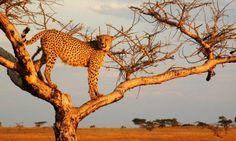 #Cheetah lookout by Ndaka Lodge in #Nambiti Private Game Reserve. http://www.nambiti.com