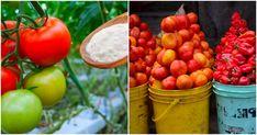 Hnojivo na bázi jedlé sody se postará o neskutečnou úrodu rajčat. Plody budete počítat na kbelíky