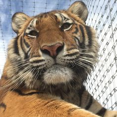"Black Jaguar-White Tiger on Instagram: ""Her majesty Tierra... #tierris #SaveTigers #SaveOurPlanet #behuman #NotPets #NoSonMascotas #blackjaguarwhitetiger #rescuedTigers For @kymshe with Love"""