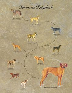 Rhodesian Ridgeback Canvas Print Illustration of Dog by BreedStory