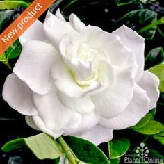 Gardenia  'True Love®' The newest addition to our gardenia range, classic double white blooms, glossy evergreen foliage, everything we love about gardenias and it's hardy and pest resistant. Beautiful potted plant or no-prune low hedge to under 1m. #scented#compact#flowering#evergreen