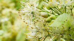 Mire jó a hársfavirág?