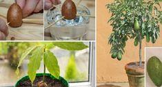 Cómo cultivar AGUACATE en MACETA? – En el Punto