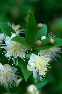 A must for my Garden :  ( Myrtus communis Common myrtle)
