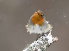 Image result for pictures of robins in winter