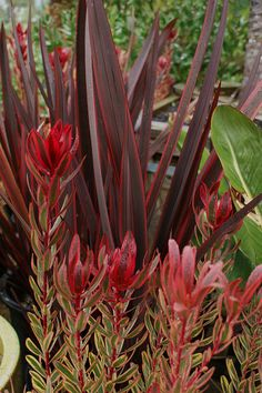 Leucodendron 'Jester', Phormium 'Guardsman' I love this combo for the front of your house Garden Shrubs, Landscaping Plants, Front Yard Landscaping, Succulents Garden, Garden Plants, Planting Flowers, Tropical Garden Design, Colorful Garden, Tropical Plants