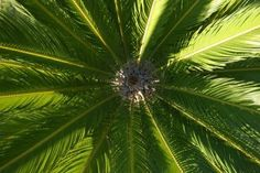 Pruning a Sago palm can help keep it healthy and create a dramatic show.