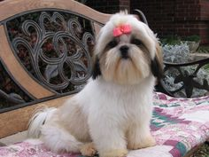 Training and suitable socializing have to begin at a young age for the Shih Tzu to obey basic commands.