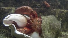 Giant Hermit Crab Changing Shells - this was one of our favorite videos from our entire animal kingdom studies!