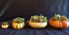 SUCCULENT PUMPKIN living arrangements from Design for Serenity.  What a cool idea for a Thanksgiving centerpiece~!