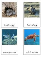 Free montessori cards for the turtle life cycle. They are designed to work with the Safari turtle lifecycle