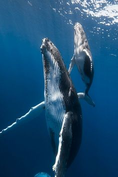 Whales: the most majestic and beautiful creatures in the world! - Whales: the most majestic and beautiful creatures in the world! Beautiful Creatures, Animals Beautiful, Water Animals, Animals And Pets, Strange Animals, Underwater Photography, Animal Photography, Nature Photography, Humpback Whale