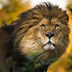If you Love Lions You Must Check The Link In Our Bio Exclusive Lion Related Products on Sale for a Limited Time Only! Tag a Lion Lover! Please DM . No copyright infringement intended. All credit to the creators. Nature Animals, Animals And Pets, Cute Animals, Royal Animals, Beautiful Lion, Animals Beautiful, Lion Pictures, Animal Pictures, Daily Pictures