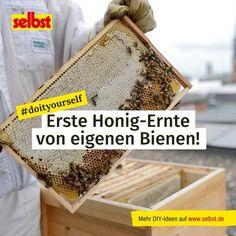 Neues von den Bauer-#Bienen: Unsere #Honigbienen auf dem Hamburger Verlagsdach waren in den letzten Monaten fleißig – nun kann zum ersten Mal #Honig geerntet werden. #Honiglese #Imker #Nachhaltigkeit #Artenvielfalt Tricks, Hamburger, Grid, Bee Friendly Plants, Insects, Honeycombs, Harvest, Sustainability, Burgers