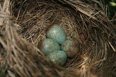 European Blackbird eggs - British Birds' Eggs - British Bird Lovers