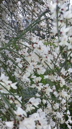 Ginestra bianca