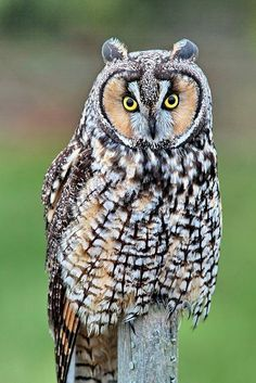 Long Eared Owl By The Digital Surgeon