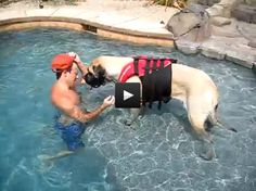 Big dog is just a big baby - Mastiff swimming lessons