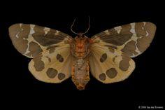 Great Tiger Moth (Arctia caja americana) - Lac Bonin, Quebec - July 28, 2006