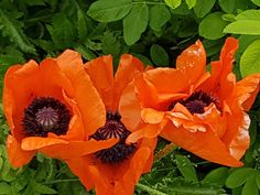 Takalo-Roppolan puutarha- ja mansikkatila: TUNNETKO Katrín Viðarin? Poppy, Plants, Plant, Poppies, Planets