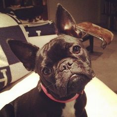 french bulldog… i loved it when Rocco would look at me like this...