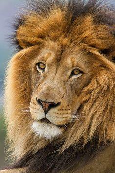 ☀Gorgeous Lion ( by day1953 on Flickr ) La sabiduría de león incluye: Hermandad Dejar ir la tensión Fuertes lazos familiares Fuerza Valor Energía Auto plenitud